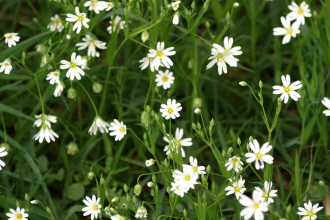 British herbs